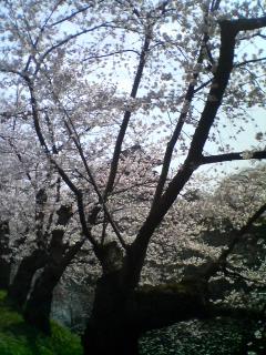 弘前公園花見